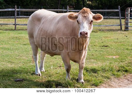 White Hereford Cow Frontal View