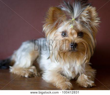 Yorkshire Terrier 10 Months