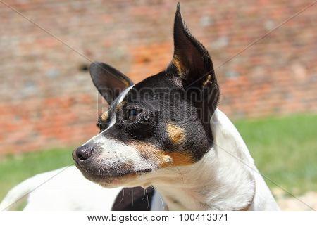 Chihuahua Portrait