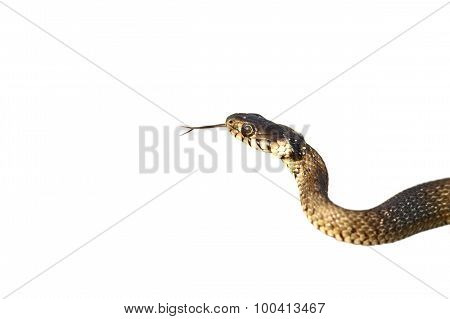 Grass Snake Isolated On White