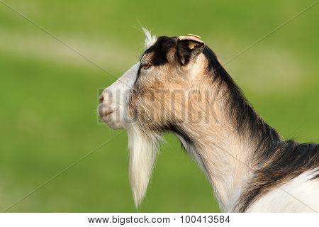 Profile Of Domestic Goat