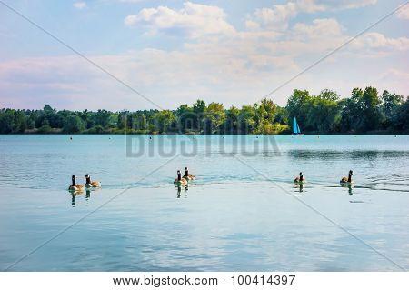 Gray Goose On Lake