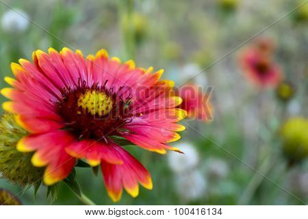 Photo of echinacea