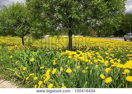 field of yellow dandelions in the month of may