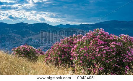 Oleanders Blossoming On Hillside, Selcuk, Turkey