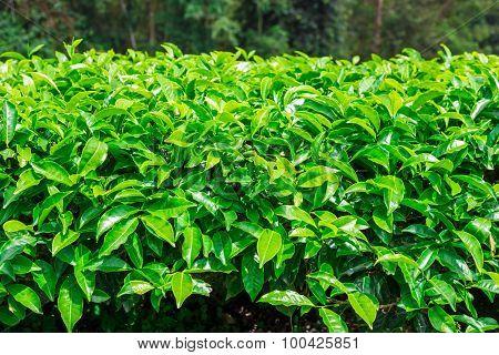 Landscape Of Tea Plantations, Cameron Highlands