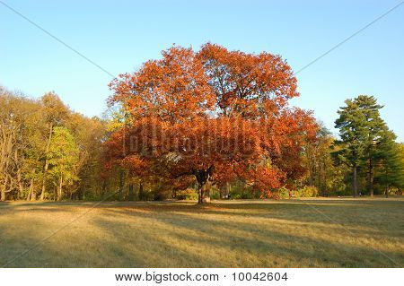 The Autumn Tree With Red Leafs In Park, Ukraine
