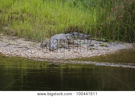 A crocodile at Victoria lake