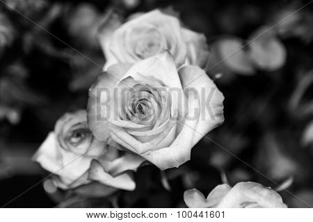 B&w Detailed Roses Closeup