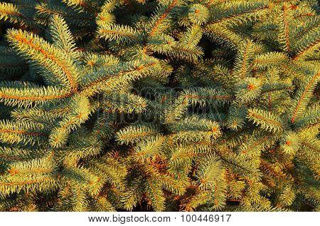 Decorative fir tree background
