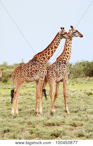 Pair Giraffes In The African Savannah On Background Bushes.