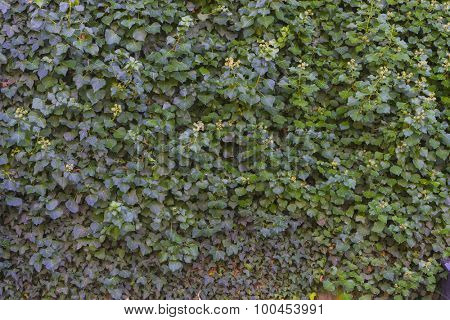 Ivy, Jardines de la Granja de San Ildefonso, monuments in Spain