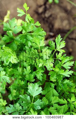 Parsley growing in garden