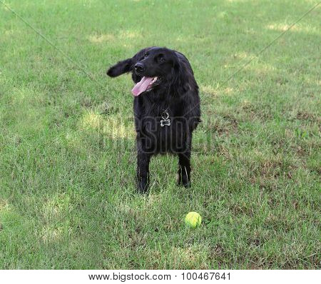 Playful big black dog over green grass background