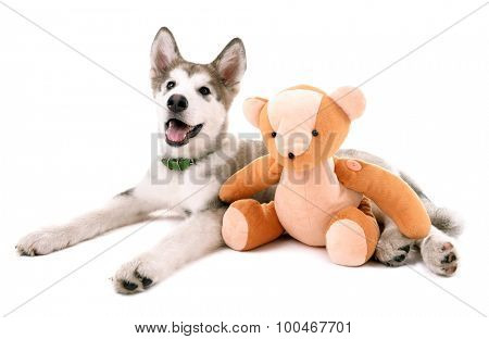Cute Malamute puppy lying with teddy bear isolated on white