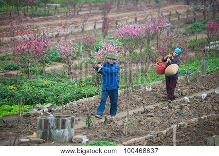 Farmer pick up peach flower in garden in Hanoi, Vietnam