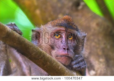 Crab-eating macaque, long-tailed macaque, Macaca fascicularis