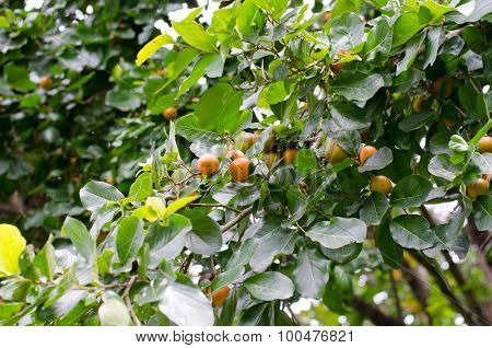 Ebony Fruit Growing On Tree