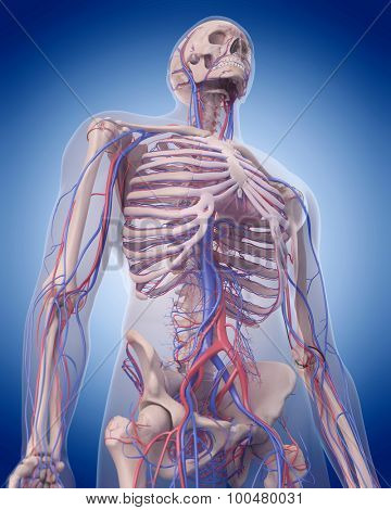 medically accurate illustration of the circulatory system - upper body