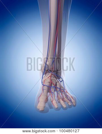 medically accurate illustration of the circulatory system - foot