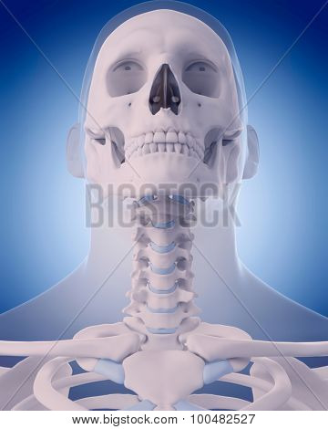 medically accurate illustration - bones of the neck