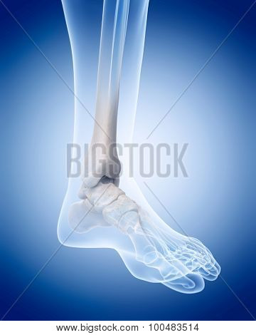 medically accurate illustration of the human skeleton - the ankle
