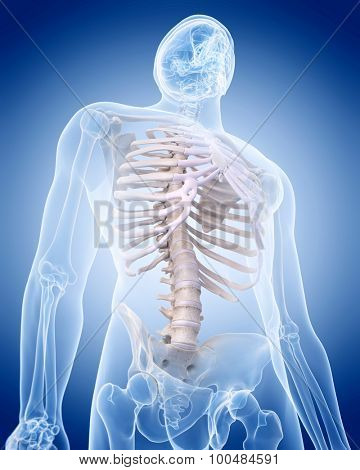 medically accurate illustration of the human skeleton - the thorax