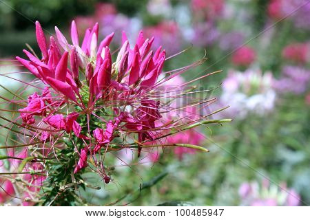 Cleome Spinosa - Spider Flowers
