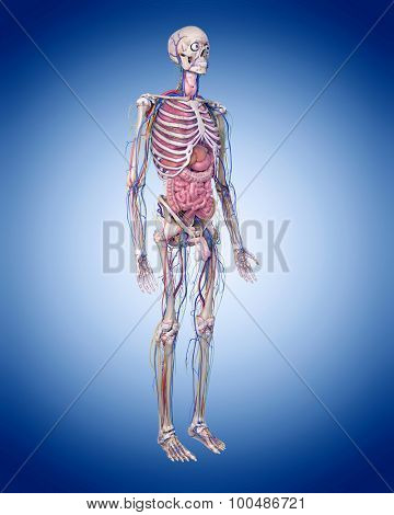 medically accurate illustration of the human anatomy