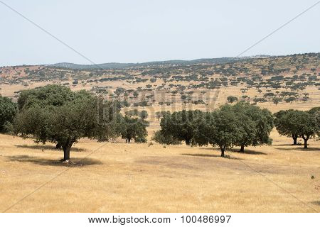 Core trees in the Alentejo landscape