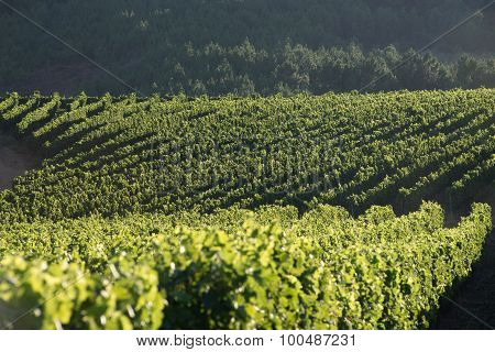 Lines of grapevines in the Douro Valley