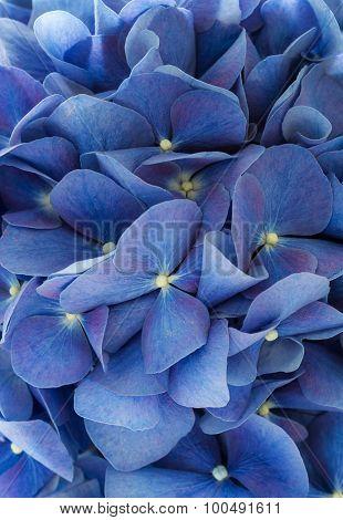 Blue hydrangea texture