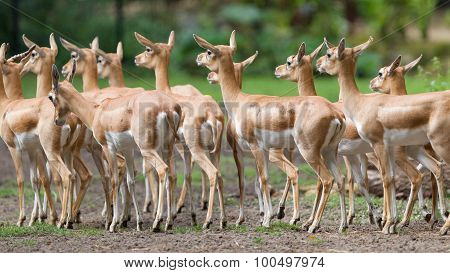 Young Antilopes
