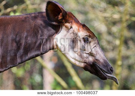 Close-up Of An Okapi Eating