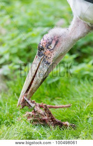Marabou Stork Eating