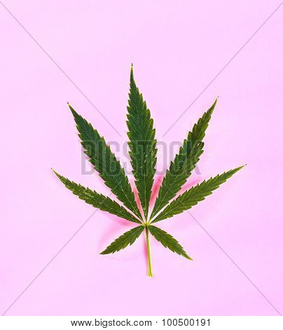 Cannabis on a pink background