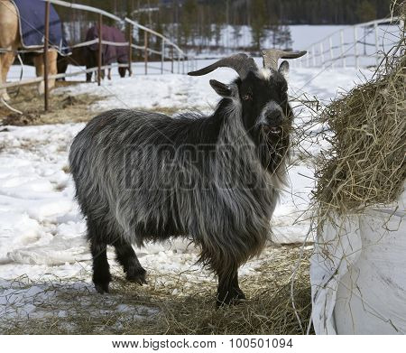 Dwarf pygmy goat and it´s hay.
