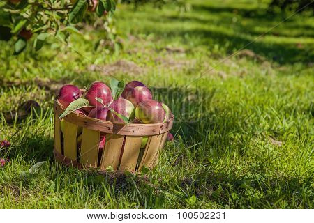 A basket of freshly picked apples in the orchard.