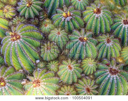 Green Cactus Background With Many Close Cactus Plants