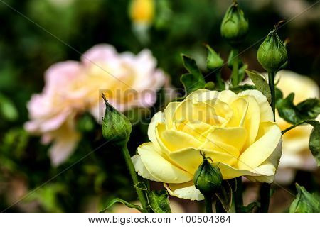 Whtie And Yellow Roses In A Garden