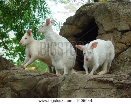 3 White Kangaroo