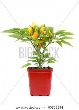 Domestically cultivated orange peppers in red pot shot on white background