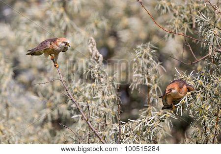 Kestrel Courting
