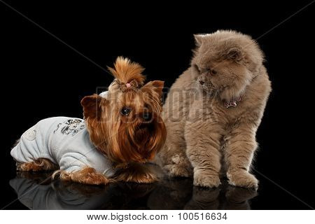 Scottish Cat And Yorkshire Terrier Dog Isolated