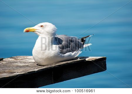Seagull resting on sunny day with blurred sea in a background
