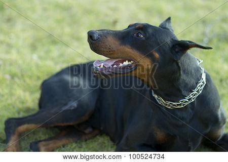 Young Doberman Outdoor