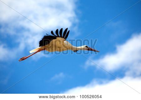 Big stork in flight closeup