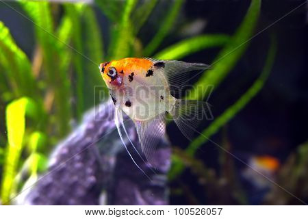Colorful exotic fish swims in water