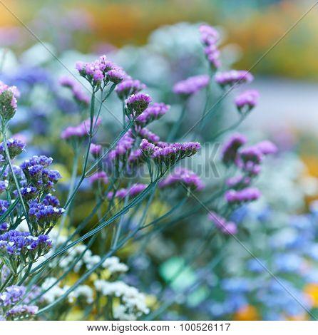Sea Lavender (Limonium sinuatum)