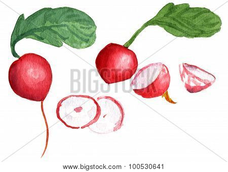 A set of watercolor radish drawings on white background